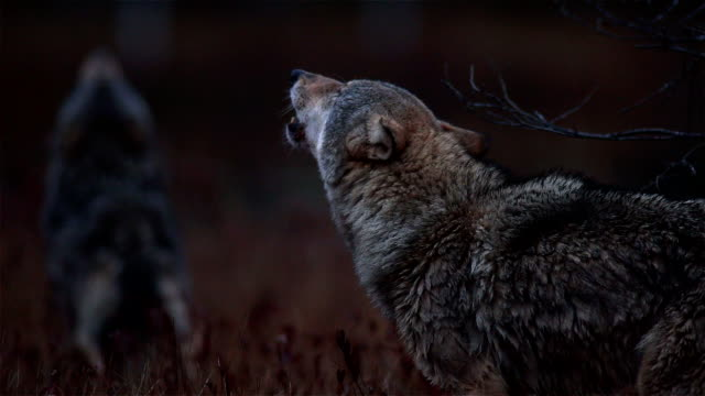 Wolves http://i779.photobucket.com/albums/yy73/Zlydzen/HowlingWolves_low_zps19a1c36e.jpg group of animals stock videos & royalty-free footage
