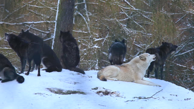 wolves wolves group of animals stock videos & royalty-free footage