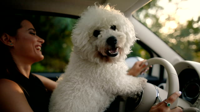 woman and dog driving car - молодое животное стоковые видео и кадры b-roll