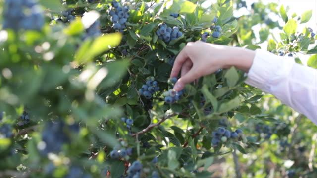 vídeos y material grabado en eventos de stock de mujer arándanos mano de la granja - arándano