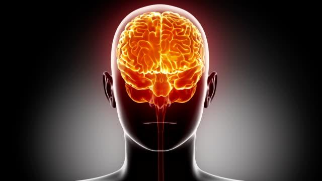 Woman brain anatomy in loop video