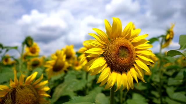 Woman caressing sunflower petals