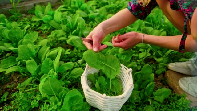 Woman collects spinach leaves in a greenhouse