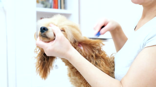 Woman comb the dog after bathing. video