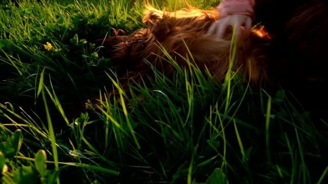 Woman combing her stomach to a dog lying in the grass at sunset, a reflex with a hind paw Woman combing her stomach to a dog lying in the grass at sunset, a reflex with a hind paw. irish setter stock videos & royalty-free footage