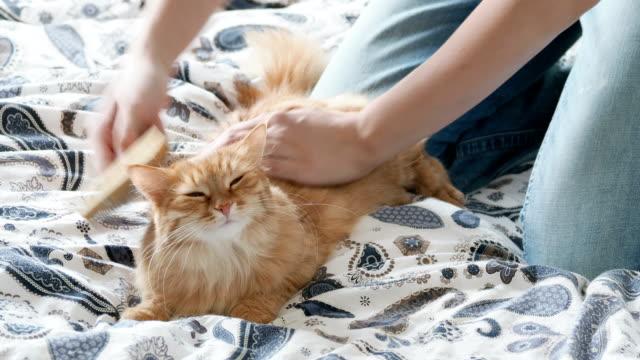 vídeos de stock e filmes b-roll de woman combs a cute ginger cat fur. fluffy pet frowning of pleasure - escovar