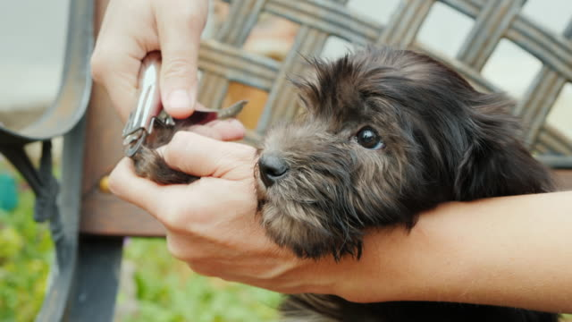 A woman cuts off her claws to a small puppy. Pet Care Concept video