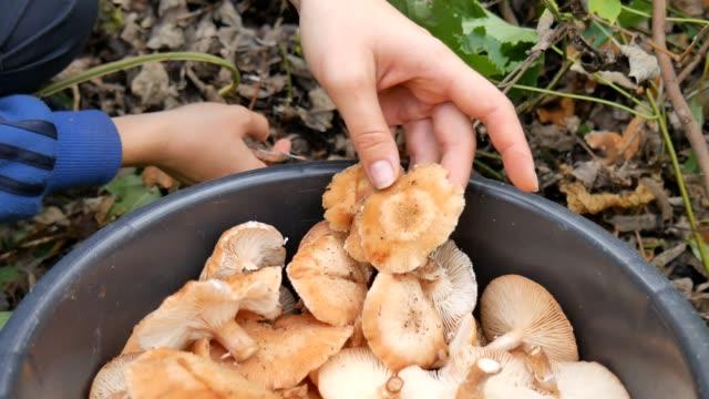 en kvinna skär med en kniv svamp i skogen höst och sätter skopan. kvinna söker svamp i höstlig skog. plocka svamp i höst skog. - höst plocka svamp bildbanksvideor och videomaterial från bakom kulisserna