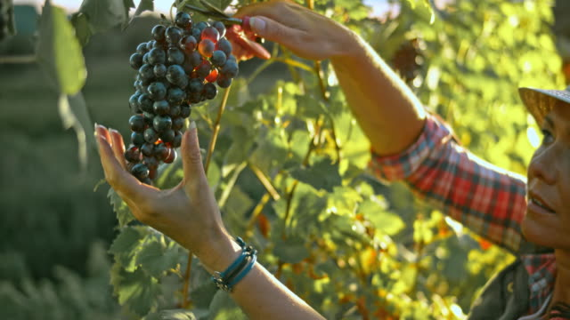 LD Woman cutting a red grape cluster at sunset video
