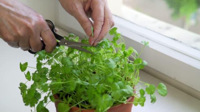 frau schneiden koriander in städtischen wohnung - urban gardening stock-videos und b-roll-filmmaterial