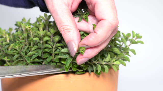 A woman cutting some leaves of oregano A woman cutting some leaves of oregano using a pair of scissors branch plant part stock videos & royalty-free footage
