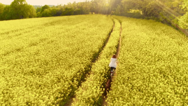 aerial woman cycling with her dog along track in a canola field - colza video stock e b–roll