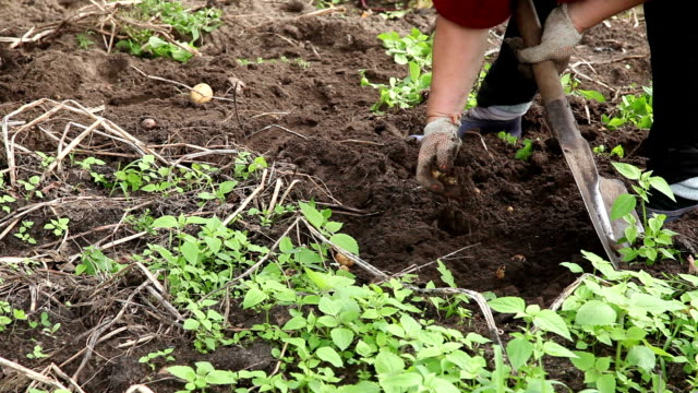 woman digging potatoes in the vegetable garden - donna forzuta video stock e b–roll