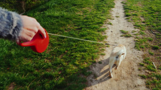 A woman digs up a dog - a favorite pug. Walking in the forest or park along the path the dog runs on a leash. Steadicam pov video video