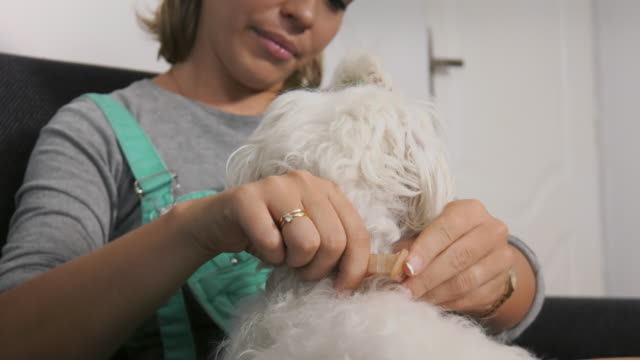 Woman Dog Owner Putting Flea Collar To Pet Pets, animals and hygiene. Woman with maltese dog on sofa, applying flea collar to its neck. Closeup shot flea insect stock videos & royalty-free footage