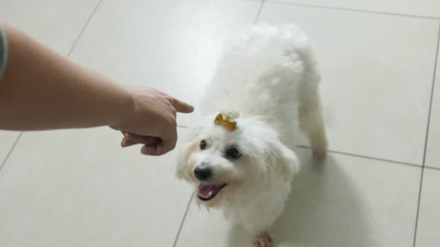 Woman Dog Owner Training Pet To Sit And Wait video