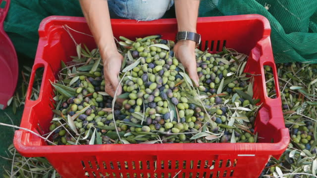 woman dropping olives from hands to plastic box - oliva video stock e b–roll