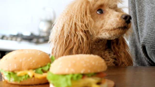 woman eat hamburger and drinking beer. dog looking at food. - cheeseburger стоковые видео и кадры b-roll