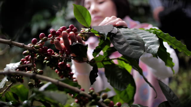 donna contadina raccolta manuale bacche di caffè robusta mature per la raccolta, slow motion - coffee farmer video stock e b–roll