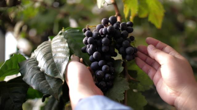 vídeos de stock e filmes b-roll de woman farmer hands checking grapes in vineyard - grapes