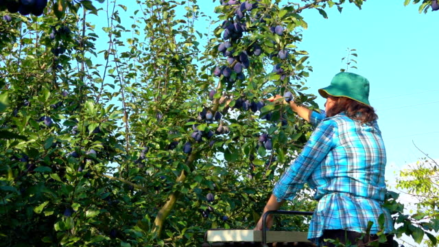 Woman farmer picks plums video