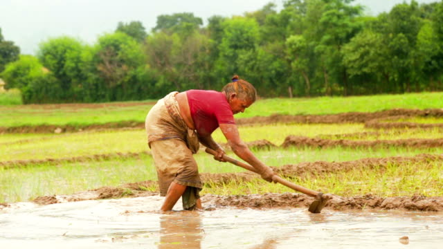 Woman Farmer Working In rice paddy field Field With Hoe Indian poor old woman Farmer Standing Knee-deep In Mud, Working In The Field With Hoe during the rice plantation. rice cereal plant stock videos & royalty-free footage