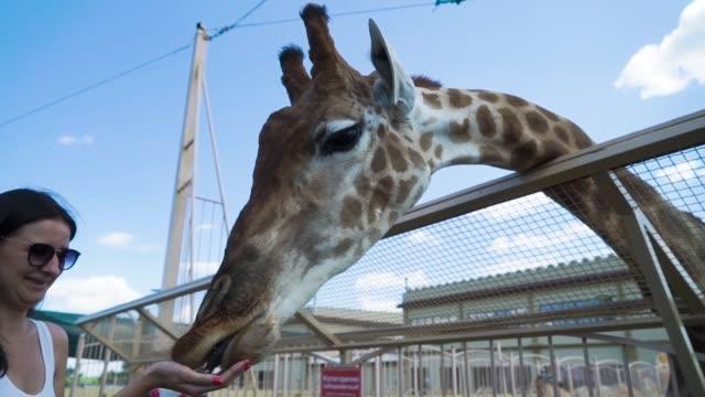 woman feeds giraffe at contact zoo - leccare video stock e b–roll