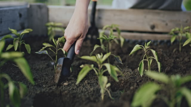 CU Woman gardening, planting peppers vegetable plants in garden soil of raised bed Woman gardening, planting  peppers plants in garden soil of raised bed. Real time. vegetable garden stock videos & royalty-free footage