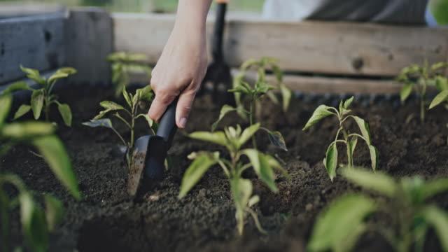 vidéos et rushes de cu femme jardinage, plantant des plantes végétales de poivrons dans le sol de jardin du lit augmenté - jardiner