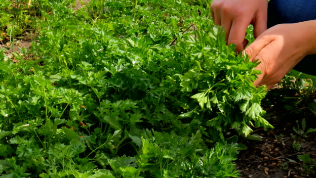 Woman gather green fresh parsley. video