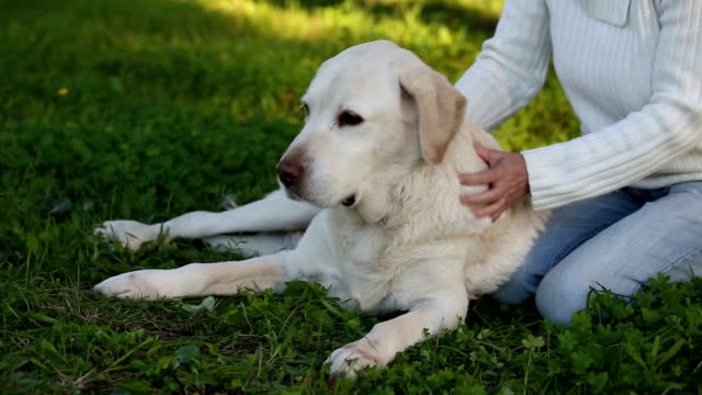 woman giving massage to a senior labrador dog video