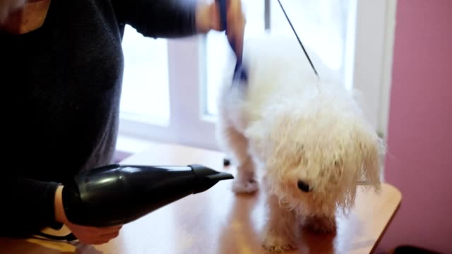 Woman groomer dries bichon frise dog hair with hair dryer after bathing