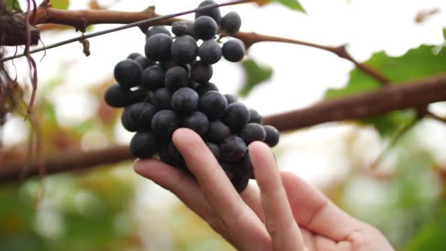 slo mo, woman hand checking grape in vineyard, 4k - grape stock videos & royalty-free footage
