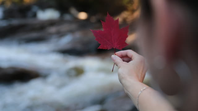 Woman Hand Holding Red Maple Leaf and Waterfall DSLR UHD 4K video of a woman holding a red maple leaf in front of a river or Waterfall. maple leaf videos stock videos & royalty-free footage