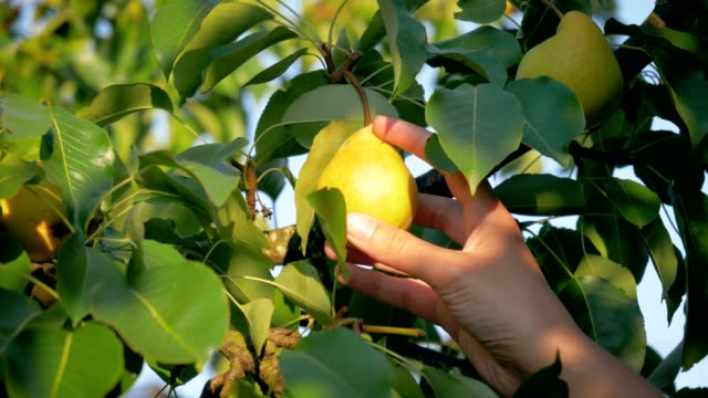 Woman Hand Picking A Ripe Pear From A Tree In The Garden On A Sunny Summer Day A woman hand harvests ripe yellow pears from a tree branch in the garden on a sunny summer day at rancho, slow motion, close up, organic and non GMO, sweet fruit pear stock videos & royalty-free footage