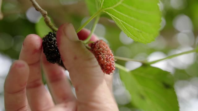 Woman hand picking mulberry Woman hand picking mulberry ,Thailand ,Close up shot ,slow motion shot nutritionist stock videos & royalty-free footage