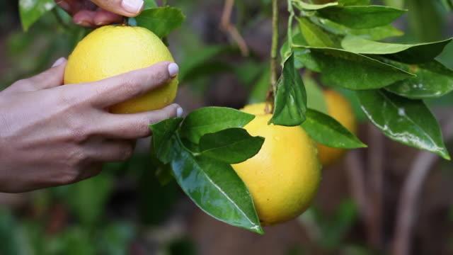 vidéos et rushes de une main de femme tend la main à une grosse orange et tente de prendre de l'arbre à l'aide des deux mains. - pamplemousse