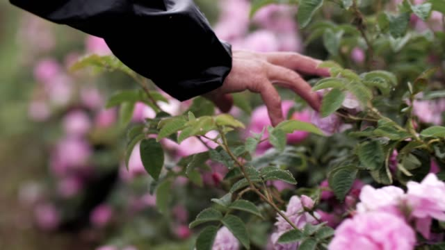 woman hand touching pink roses blossoms. - agricoltrice video stock e b–roll