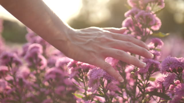 Woman Hand Touching The Flowers with Sunset Hand,Flower,Nature,Meadow,Women, Woman Hand Touching The Flowers with Sunset springtime stock videos & royalty-free footage