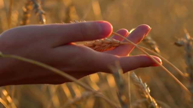 woman hand touching wheat ears closeup. Hand of farmer touching wheat corn agriculture. Harvest concept. Harvesting. Slow motion video footage video