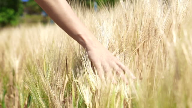 Woman hand walking touching barley golden field in the sun Woman hand walking touching barley golden field in the sun rice cereal plant stock videos & royalty-free footage