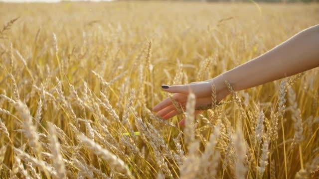 vídeos de stock, filmes e b-roll de mão de mulher com espiga de trigo. luz do sol. - rússia