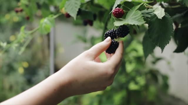 Woman hands harvesting blackberries fruit