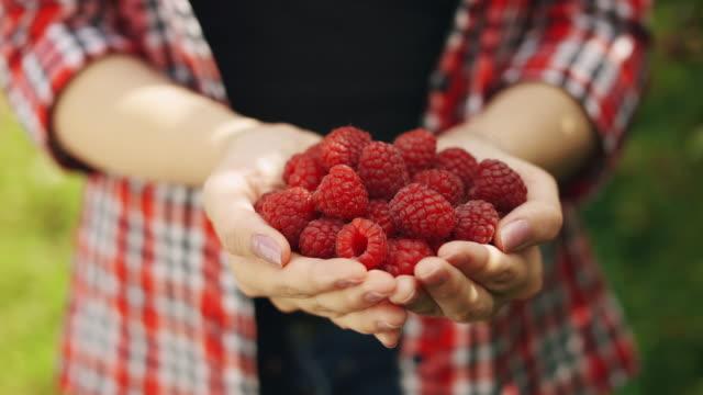 Woman hands hold fresh organic raspberries from the bush