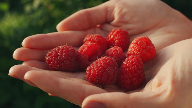 Woman hands hold fresh organic raspberries Woman hands hold fresh organic raspberries from the bush berry stock videos & royalty-free footage