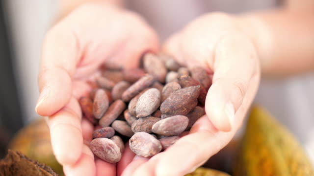 Woman hands holding Cocoa seed , Dolly shot , SLOW MOTION