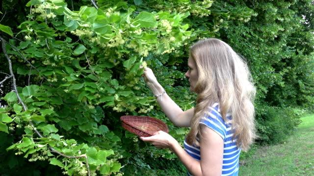 stockvideo's en b-roll-footage met vrouw handen pick linden kruiden bloemen tot houten rieten schotel. fullhd - camelia white