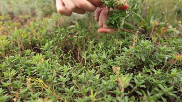 Woman hands picking up fresh green thyme growing in the meadow Woman hands picking up fresh green thymegrowing in the meadow. Closeup shot. Low angle. Front view. cultivated land stock videos & royalty-free footage