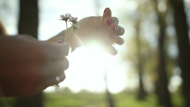 Woman hands pulling petals off daisy flowers