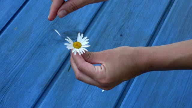 woman hands tear off daisy flower petals on blue board background. fullhd - нивяник стоковые видео и кадры b-roll